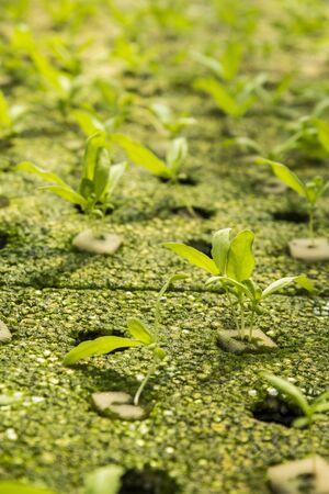coronarium: chrysanthemum coronarium linn sprout by hydroponic method in green house