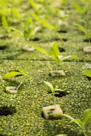 coronarium: close up of seedling of  chrysanthemum coronarium linn by hydroponic method in green house Stock Photo