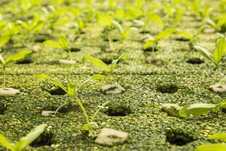 coronarium: close up of sapling of  chrysanthemum coronarium linn by hydroponic method in green house