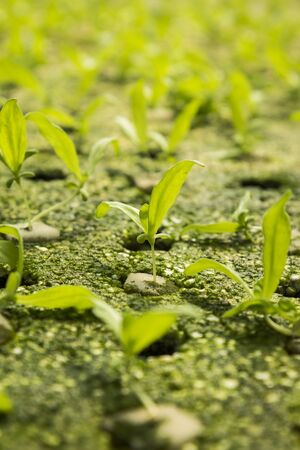 linn: sapling of hydroponic chrysanthemum coronarium linn in green house Stock Photo