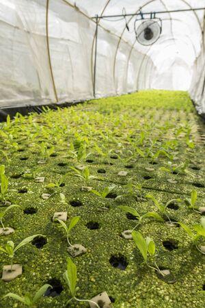 coronarium: sapling of hydroponic chrysanthemum coronarium linn vegetables growing in greenhouse Stock Photo