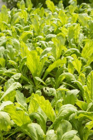 coronarium: organic hydroponic chrysanthemum coronarium linn vegetable in green house Stock Photo