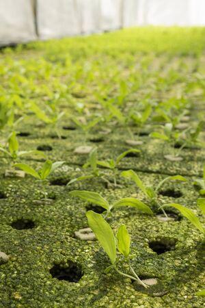 coronarium: seedling of hydroponic chrysanthemum coronarium linn  vegetables growing in greenhouse