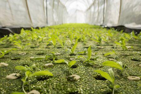 coronarium: hydroponic chrysanthemum coronarium linn sapling in green house Stock Photo