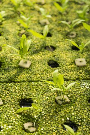 coronarium: chrysanthemum coronarium linn seedling by hydroponic method in green house Stock Photo