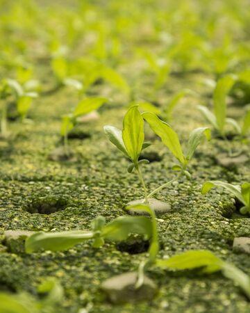 coronarium: close up of chrysanthemum coronarium linn sapling by hydroponic method in green house