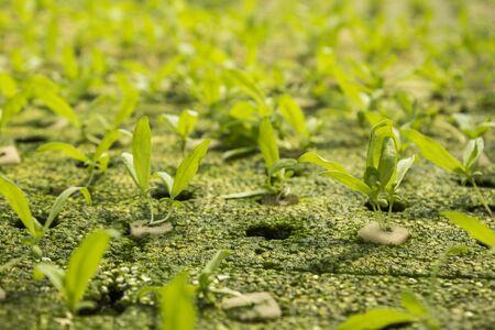 coronarium: seedling of  chrysanthemum coronarium linn by hydroponic method in green house