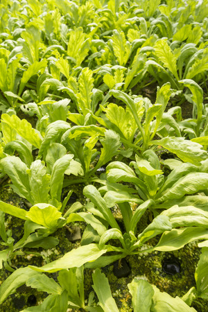 coronarium: organic hydroponic chrysanthemum coronarium linn plants in green house Stock Photo