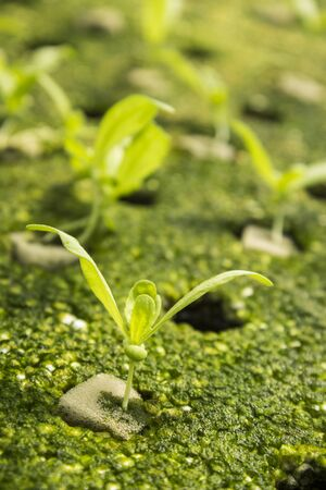 coronarium: closeup of hydroponic chrysanthemum coronarium linn sapling in green house Stock Photo