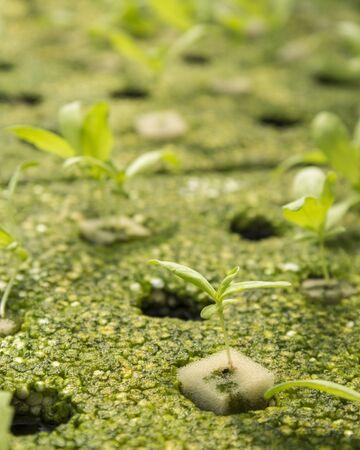 coronarium: closeup of hydroponic chrysanthemum coronarium linn sprout in green house Stock Photo