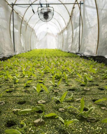 coronarium: hydroponic chrysanthemum coronarium linn sprout in green house
