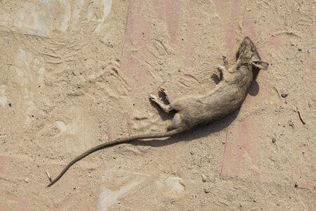 dead rat: dead rat on dirty pavement floor in sunlight