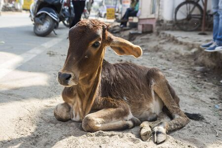 calf cow: tramp calf cow at side of street in Pushkar, ,Rajasthan, India Stock Photo