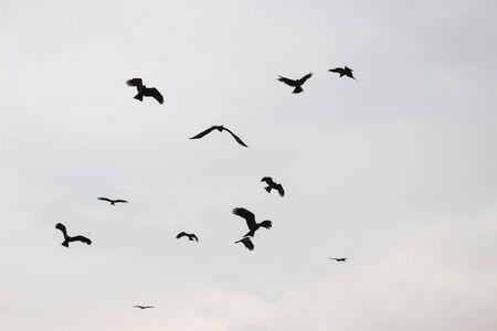 flying falcon: silhouette scene of flying falcon in cloudy sky