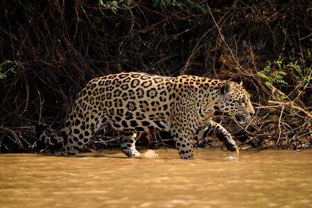 Jaguar female on Rio Cuiaba riverbank, Porto Jofre, Pantanal, Brazil. Banque d'images