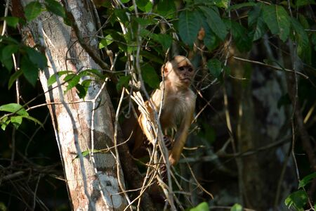 White fronted capuchin in the jungle on the banks of the Rio Ariau, Amazon, Brazil.