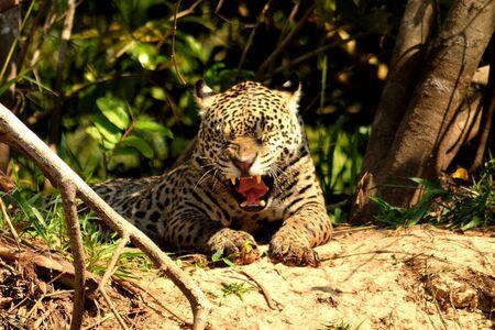 Jaguar female on Rio Cuiaba riverbank, Porto Jofre, Brazil. 스톡 콘텐츠