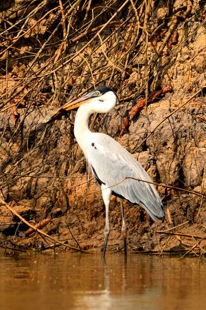 Heron on Rio Cuiaba, Pantanal Matogrosso Brazil 스톡 콘텐츠