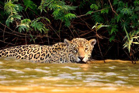Femelle Jaguar sur la berge du Rio Cuiaba, Porto Jofre, Brésil. Banque d'images