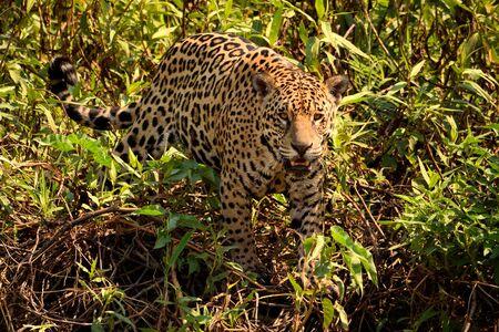 Femelle Jaguar sur la berge du Rio Cuiaba, Porto Jofre, Brésil.