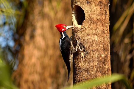 Crimson crested Woodpecker and its nest in Pantanal, Matogrosso, Brazil