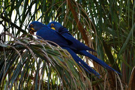Hyacinth macaw on Rio Cuiaba, Pantanal Matogrosso Brazil 스톡 콘텐츠
