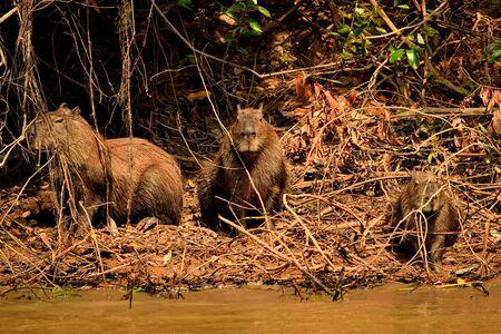 Capybara on the Rio Cuiaba riverbank, Pantanal Brazil