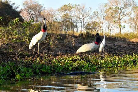Two Jabiru Stork on Rio Cuiaba sandbank, close to caiman, Pantanal Matogrosso Brazil