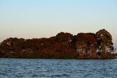 Scarlet Ibis on Delta Das Americas, Parnaiba, Brazil