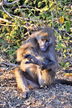 A baboon grooming himself sitting on the banks of the Chobe River, Botswana