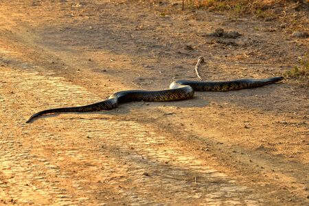 Yellow anaconda crossing the Transpantaneira, Pantanal Brazil