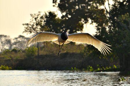Jabiru Stork flying on Rio Cuiaba, Pantanal Matogrosso Brazil