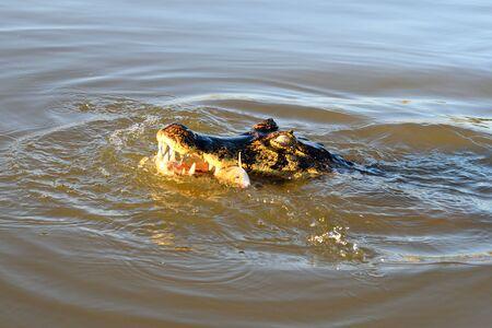 Jacare Caiman in Rio Cuiaba, Pantanal, Matogrosso Brazil 스톡 콘텐츠