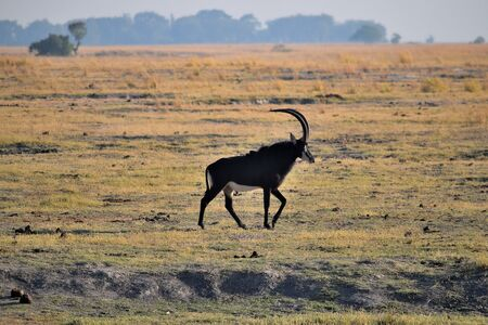 A sable antelope in Chobe National Park, Botswana
