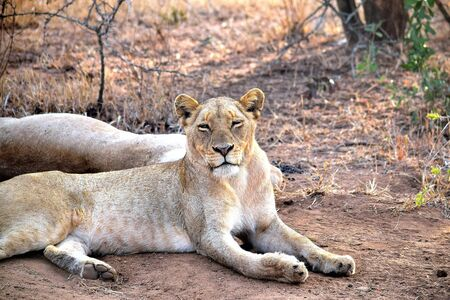 Sleepy lioness early in the day in Chobe National Park, Botswana