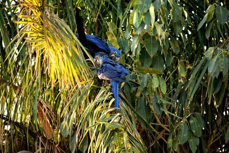 Hyacinth macaw on a palm tree, Rio Cuiaba, Pantanal Brazil Banque d'images