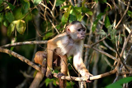Capucin à front blanc dans la jungle sur les rives du Rio Ariau, Amazonie, Brésil. Banque d'images