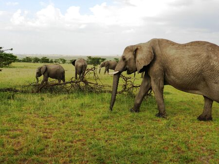 Group of elephants in the beautiful African savannah