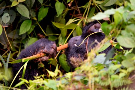 Closeup of a mountain gorilla silverback eating foliage in the Bwindi Impenetrable Forest, Uganda