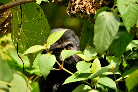 Closeup of a mountain gorilla cub eating foliage in the Bwindi Impenetrable Forest, Uganda