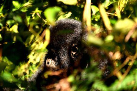 Closeup of a mountain gorilla cub eating foliage in the Bwindi Impenetrable Forest, Uganda