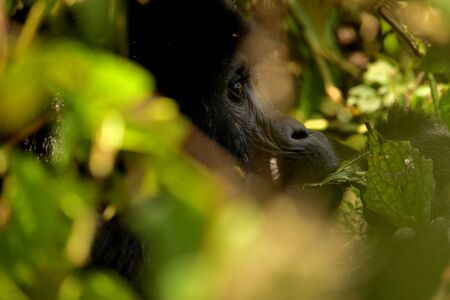 Closeup of a mountain gorilla female eating foliage in the Bwindi Impenetrable Forest, Uganda