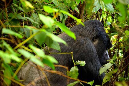 Closeup of a mountain gorilla silverback in the Bwindi Impenetrable Forest, Uganda Stock Photo