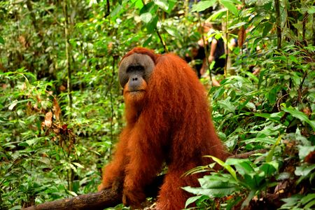 Sumatran orangutan male in the Gunung Leuser National Park, Indonesia
