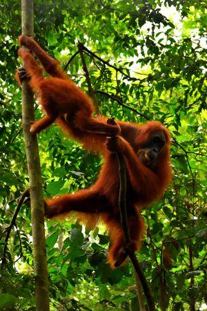 Sumatran orangutan female and its cub in the Gunung Leuser National Park, Indonesia