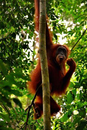 Sumatran orangutan female in the Gunung Leuser National Park, Indonesia