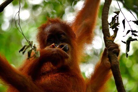 Sumatran orangutan cub in the Gunung Leuser National Park, Indonesia Stock Photo