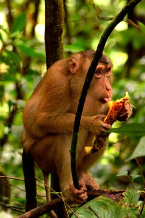 A macaque eating in the jungle of Gunung Leuser National Park, Indonesia