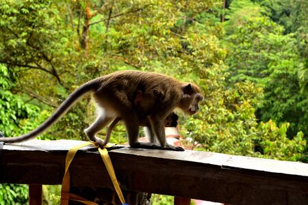 A long tailed macaque and its cub in Gunung Leuser National Park, Sumatra 版權商用圖片
