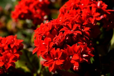 Closeup of the beautiful red flaming katy flowers